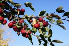 Crabapples, das auf dem Baum reift Stockfotografie