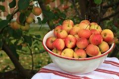 Crabapples i en bunke under ett äppleträd Arkivbilder