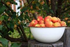 Crabapples i en bunke under ett äppleträd Arkivbild