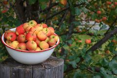 Crabapples i en bunke under ett äppleträd Royaltyfri Bild
