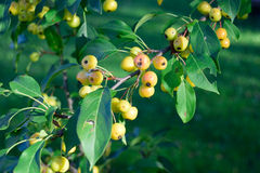 Crabapples (Malus) in Fall Royalty Free Stock Photo