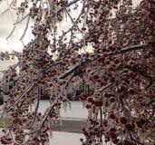 Crabapples preservou a tempo depois da tempestade de gelo Foto de Stock