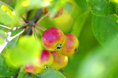 Crabapples in a tree. Stock Photography