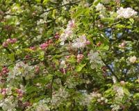 Crabb Apple blossom Royalty Free Stock Photos