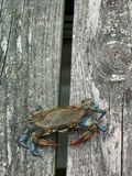 Crabbing on pier. Eastern US Blue Claw Crab Royalty Free Stock Images