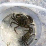 Crabbing przy nadmorski obraz royalty free