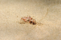 Crabby. A small crab running on the sand Royalty Free Stock Image