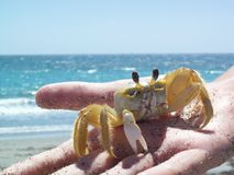 Crabby. A crab on a hand at the beach Royalty Free Stock Images