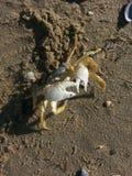 Crabby på stranden Arkivfoto