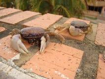 Crabe à l'atack image libre de droits