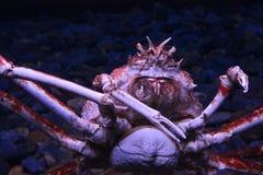 Crabe énorme à Lisbonne Oceanario Photographie stock