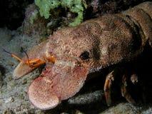 Crabe énorme au récif coralien Image libre de droits