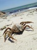 Crabe Photo libre de droits