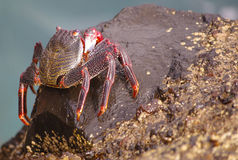 Crabe Photos libres de droits