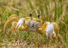 Crabe atlantique d'ordinateur de secours images libres de droits