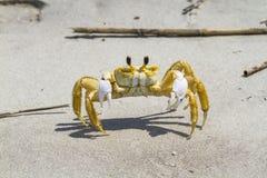 Crabe atlantique d'ordinateur de secours Images stock