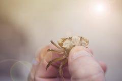 Crabe attrapé entre les doigts de la plage Photo libre de droits