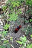 Crabe aux pieds rouge de boue près d'un étang Photographie stock