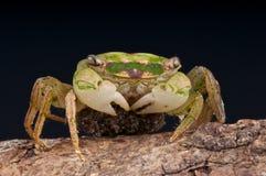 Crabe avec des oeufs Image stock