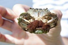 Crabe avec le caviar Photo libre de droits