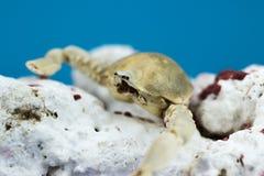 Crabe avec le corail Photo libre de droits