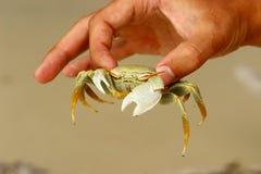 Crabe blanc Photo libre de droits