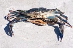 Crabe bleu image libre de droits