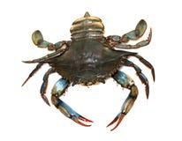 Crabe bleu photographie stock libre de droits