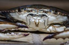 Crabe bleu avec l'avant view1 de griffe Images libres de droits