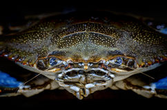 Crabe bleu avec la vue de face de griffe Photographie stock libre de droits
