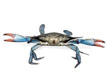 Crabe bleu dans la pose de combat Images libres de droits