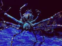 Crabe bleu de mer photos stock