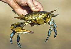Crabe bleu jugé disponible Images stock