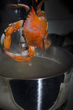 Crabe bleu pris hors du pot Photos libres de droits