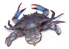 Crabe bleu vivant sur le fond blanc images libres de droits