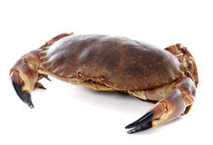 Crabe brun comestible photos stock