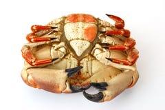 Crabe brun cuit ou crabe atlantique sur le blanc Image libre de droits