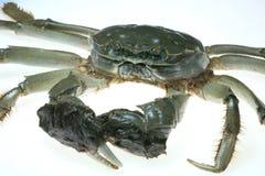Crabe chinois de mitaine Image libre de droits