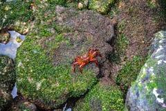 Crabe coloré mignon posant pour l'appareil-photo Images libres de droits