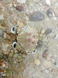 Crabe commun de lune Photo stock