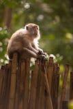 Crabe-consommation du macaque Image libre de droits