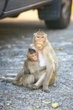 Crabe-consommation du Macaque Photo stock