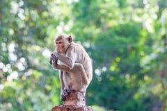 Crabe-consommation du macaque sur la barrière concrète Photos libres de droits
