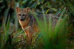 Crabe-consommation du renard, des milles de Cerdocyon, du renard de forêt, du renard en bois ou du Maikong Chien sauvage dans l'h Image stock