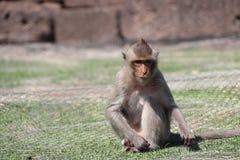 Crabe-consommation du singe de Macaque se reposant sur le gazon photographie stock