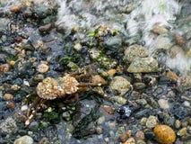 Crabe couvert dans les bernaches Photos stock