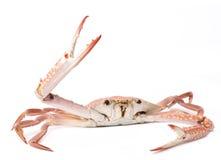 Crabe cuit à la vapeur avec l'oeuf sur le blanc Images stock