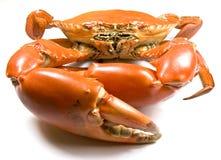 Crabe cuit de boue photographie stock libre de droits