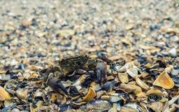Crabe curieux Photos libres de droits