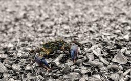 Crabe curieux Images libres de droits